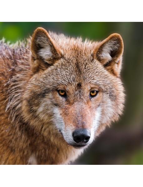"""Холст с красками """"Наблюдательный волк"""" (14 цветов)"""